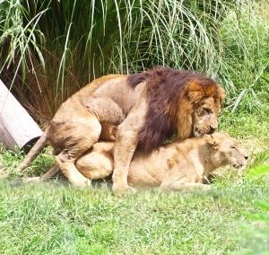 Seks Ala Binatang